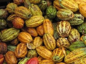 cacao pods - cacao vruchten