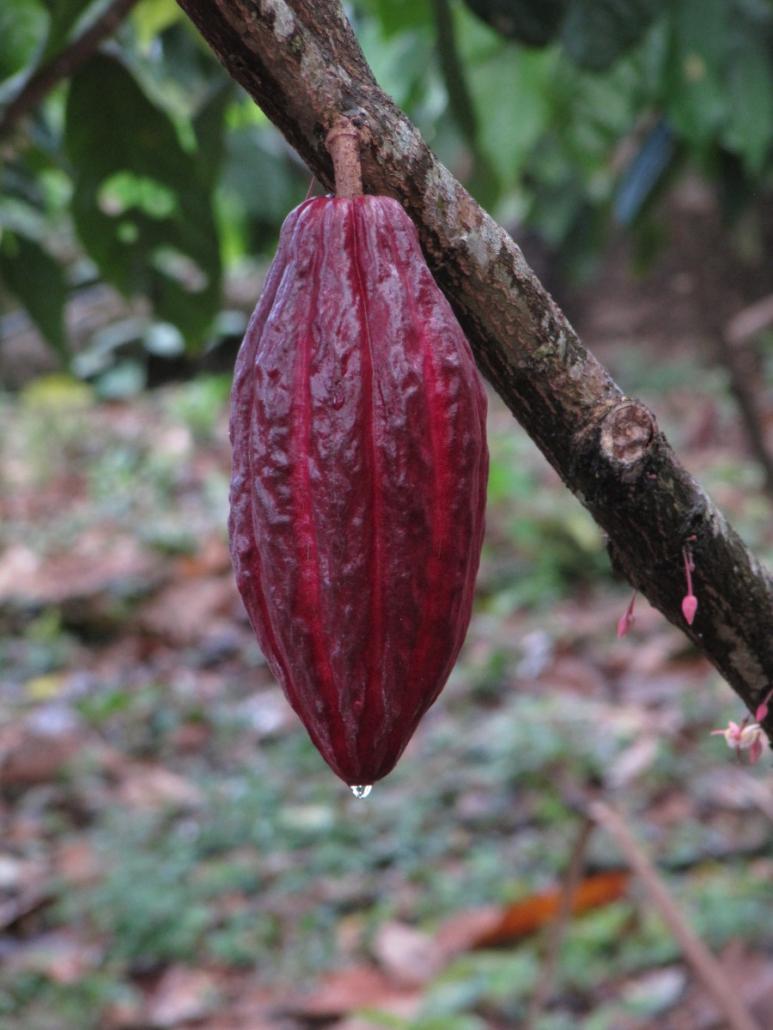 cacao pod - cacao vrucht